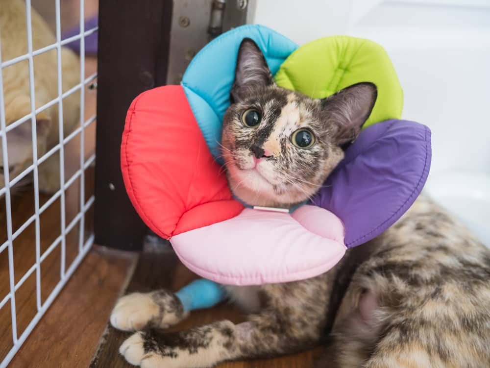 Cat recovering with a flower-shaped cone and a bandaged paw.