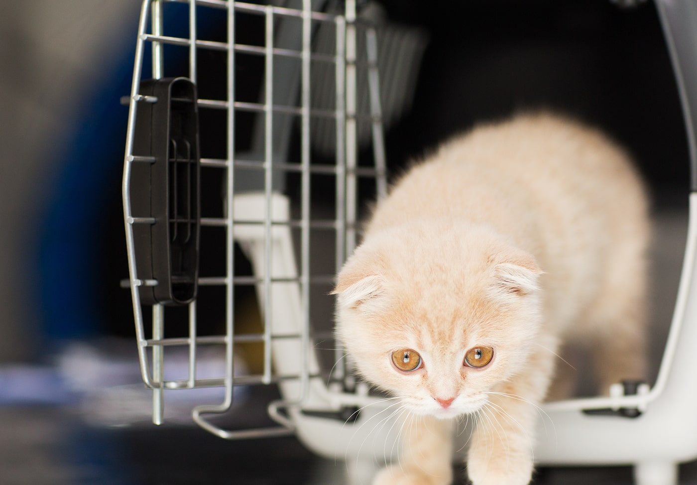 Scottish fold kitten with orange eyes walks out of cat carrier.