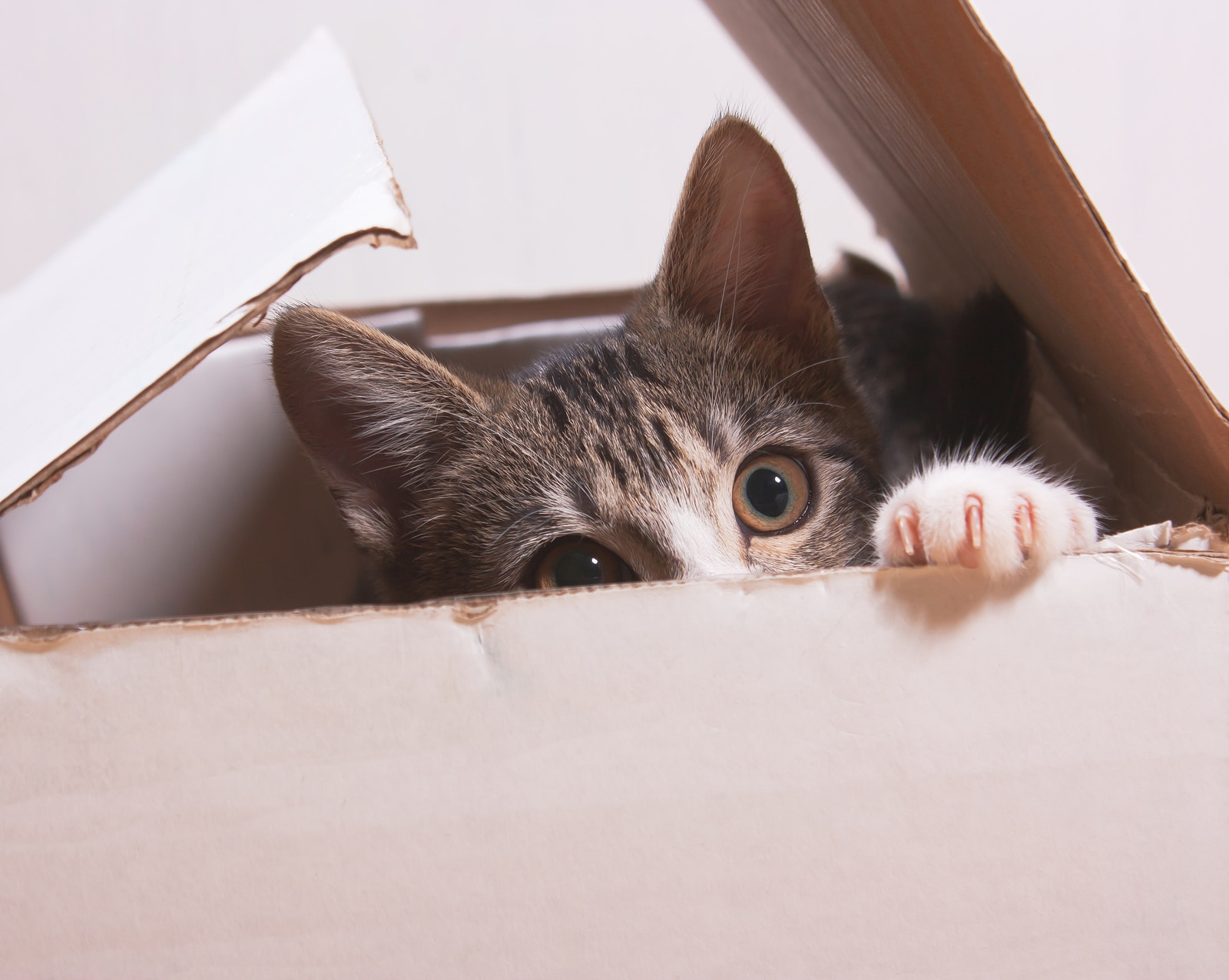 Kitten peering out of a white cardboard box.