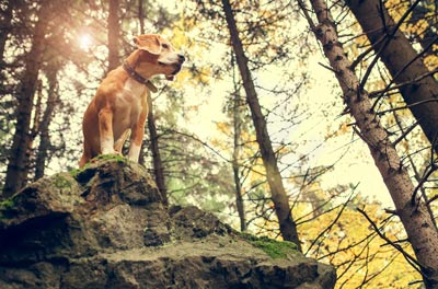 Beagle dog portrait in autumn forest .