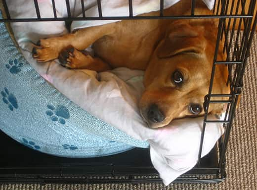 Brown puppy lies on dog bed in dog crate.