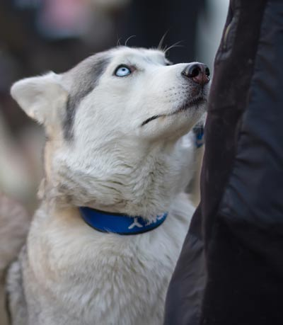 Husky with blue eyes and blue collar staring up at owner.