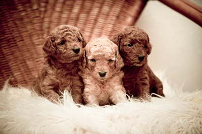 Three golden doodle puppies sitting on a white fluffy pillow on a wicker chair.