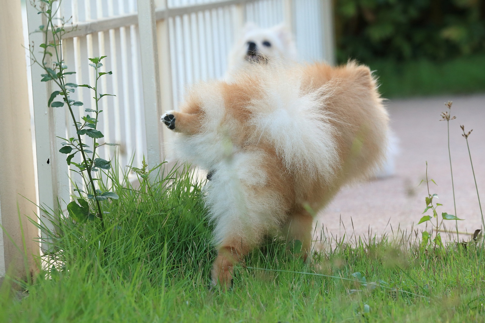 Pomeranian hikes leg and pees on a tall patch of grass while another looks on.