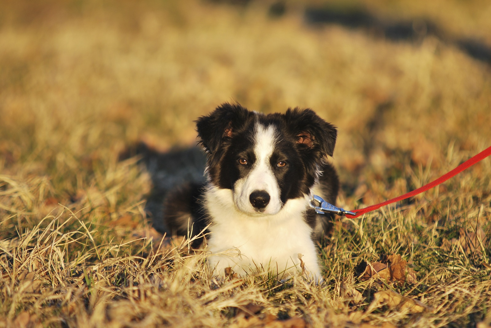 Black and white border collie on red leash lays in a field.