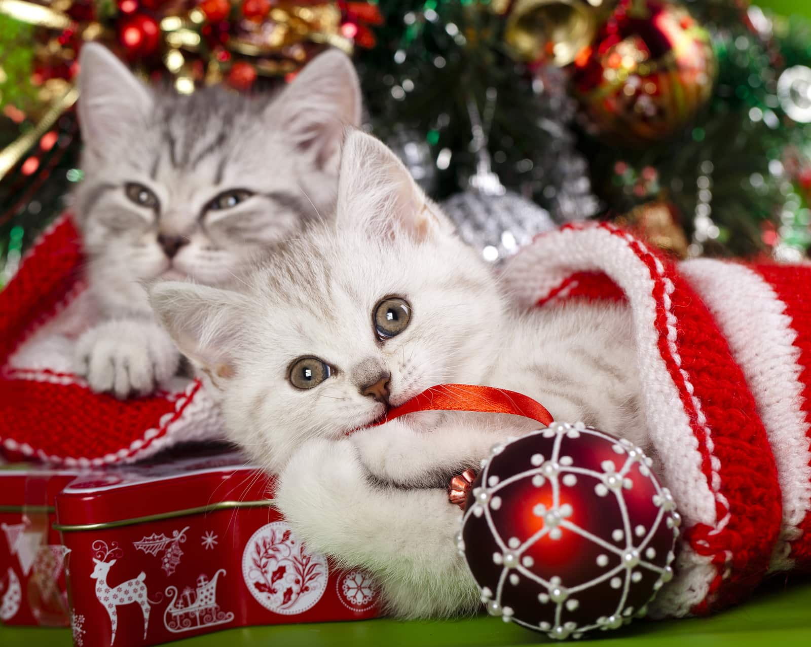Gray and white kitten beneath Christmas ree in stockings.