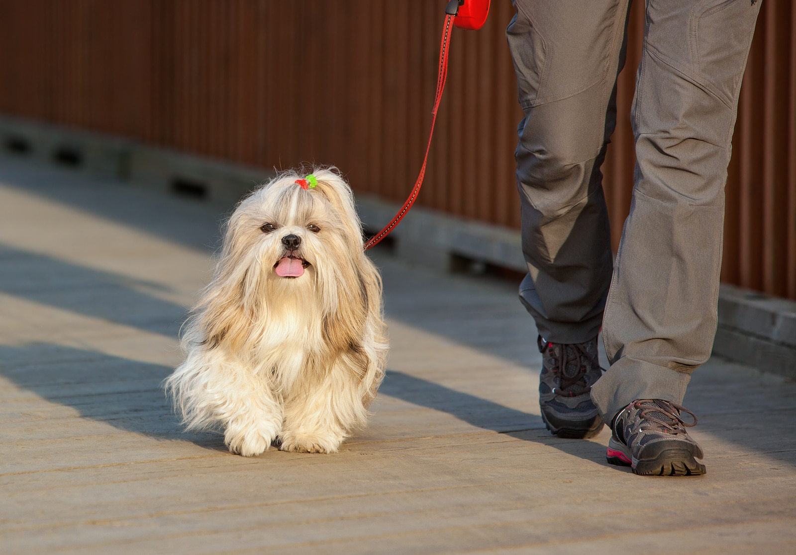 Shih Tzu with bow in hair walks on leash beside human.