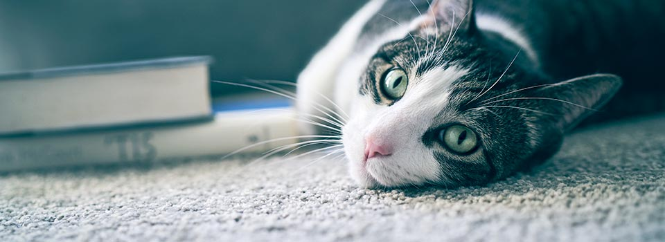 cat resting in the carpet