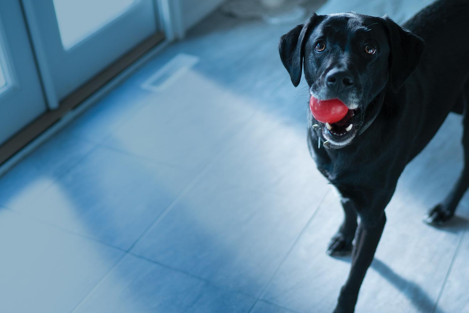 black dog with red ball
